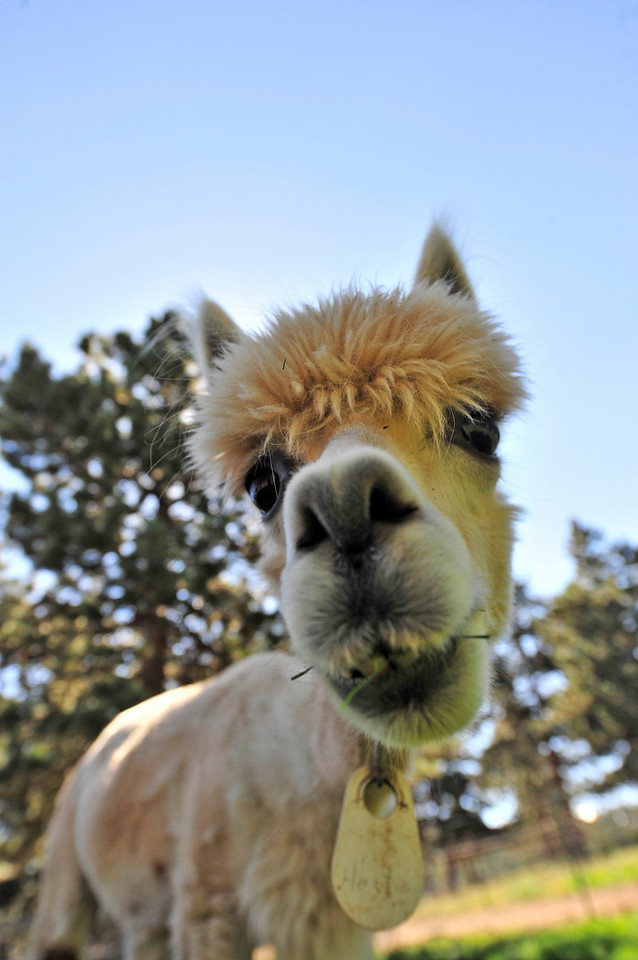Photo by Walt Hester<br /> An adult alpaca gets a close look at a stranger at the Switzer-land Alpaca Farm on Friday, August 27.This weekend will afford visitors the chance to check alpacas out at the annual Alpaca Show at the Stanley Fairgrounds beginning Saturday.