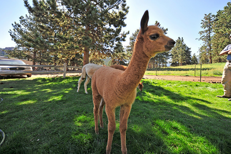 Photo by Walt Hester<br /> A young alpaca wanders off after check out a stranger to the Switzer-land Alpaca Farm on Friday, August 27. Alpacas are fairly curious creatures, willing to explore new places and people.