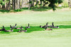 Photo by Walt Hester<br /> Canada geese lounge in the shade on the Lake Estes 9-hole golf course on Saturday.