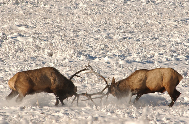 Photo by Walt Hester<br /> A pair of bulls fight for dominance in Horseshoe Park during the 2004 rut. Rocky Mountain National Park have closed the meadows in Horseshoe Park and Moraine Park for the rutting season.