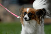 Photo by Walt Hester<br /> Munchkin, a papillon, trots, ears aflutter, along the Riverwalk on Saturday. The dogs are named for their ears, which resemble butterfly wings.