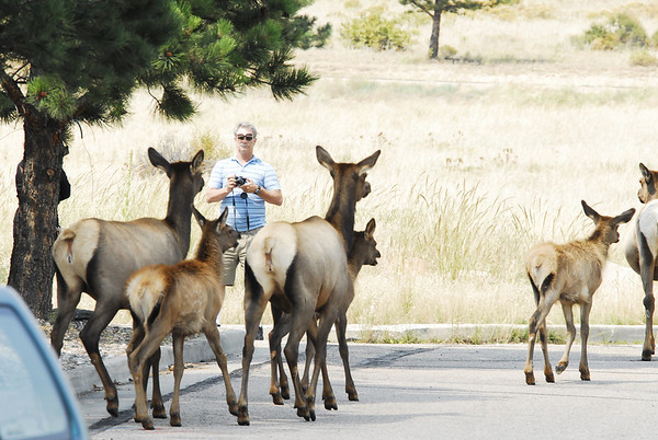Photo by Walt Hester<br /> A small elk harem walks past people in Upper Stanley Village on Monday. Visitors are warned to keep a safe distance from elk, as they are wild animals.