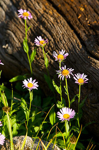Photo by Walt Hester Wildflowers shine reach along the east slope of Flattop Mountain on Thursday morning.