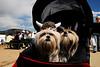 "Photo by Walt Hester<br /> Viking ""helmets"" adorn dogs at the Longs Peak Scottish-Irish Highland Festival on Sunday."