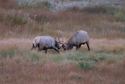 Photo by Walt Hester A pair of bull elk lock antlers near Carriage Drive on Friday. Bulls can be unpredictable and dangerous during the fall rut.