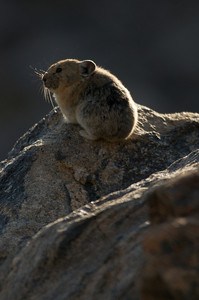 Photo by Walt Hester A pica stands watch in a boulder field along the Odessa Lake Trail in Rocky Mountain National Park on Thursday.