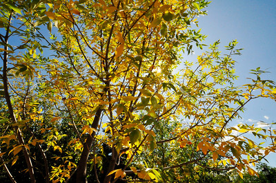 Photo by Walt Hester Tree in Riverside Plaza show the early signs of the coming autumn.