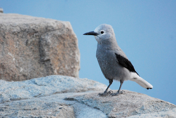 Photo by Walt Hester<br /> A Clark's nutcracker explores visitors two Rainbow Curve on Tuesday morning.