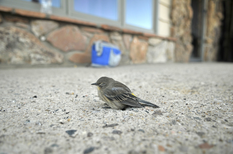 Photo by Walt Hester<br /> A small bird gathers itself after colliding into a window in Carriage Hills on Wednesday.