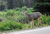 Photo by Walt Hester<br /> A deer walks along the side of Trail Ridge Road on Tuesday morning.
