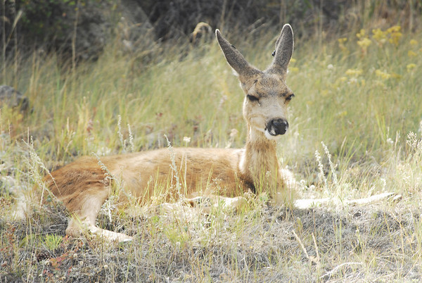 Photo by Walt Hester<br /> A deer lounges in the sunshine on a slope above downtown on Wednesday.