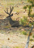Photo by Walt Hester<br /> A buck deer calmly lounges in Upper Beaver Meadows as fire crews conduct a controlled burn around him on Tuesday.