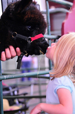 Photo by Walt Hester<br /> Claie Reed, 3, of Estes Park gets a kiss from Orion, an Alpaca from Avertine Hill Alpacas of Kiowa, Colo. during the Alpaca Show at the Stanley Fairgrounds on Saturday.