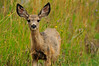 Photo by Walt Hester<br /> A fawn peeks up from grazing near Riverside Drive on Monday.