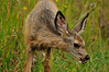 Photo by Walt Hester<br /> A fawn nibbles a little dinner in the Prospect Park neighborhood on Monday.