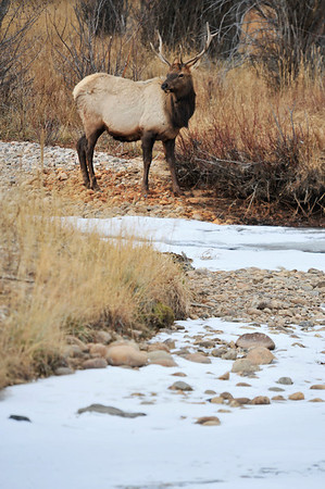 Walt Hester | Trail-Gazette<br /> A young bull elk looks to cross the icy Fall River on Sunday.