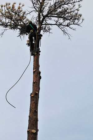 Walt Hester   Trail-Gazette<br /> A sawyer climbs and removes limbs from a tall dead tree along Moccasin Drive on Wednesday.