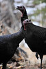 Walt Hester | Trail Gazette<br /> A pair of wild turkeys lull about Glacier Creek just outside of Rocky Mountain National Park last week. The annual Christmas bird count tallied a growing number of the big birds.