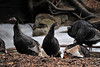 Walt Hester | Trail Gazette<br /> Turkeys congragate along the Glacier Creek near the YMCA of the Rockies last month. The annual Christmas bird count revieled a growing number of the big birds in the Estes Park area.