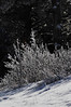 Walt Hester | Trail Gazette<br /> Frost covers foliage along Bear Lake Road. The cold morning added a little extra white to the park.