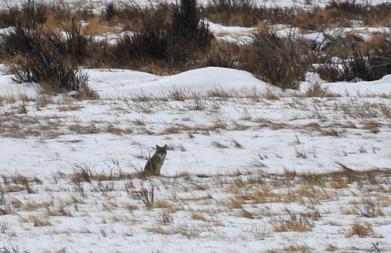 Walt Hester | Trail Gazette<br /> A coyote watches traffic pass in Horseshoe Park on Wednesday. The animal's thick winter coat alows it to survive the harsh winters of Rocky Mountain National Park.
