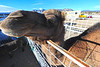 Walt Hester | Trail Gazette<br /> A camel peers out over the croud at the petting zoo at the Estes Park Winter Festival on Saturday. The towering animal garnered a lot of attention from parents and children alike.