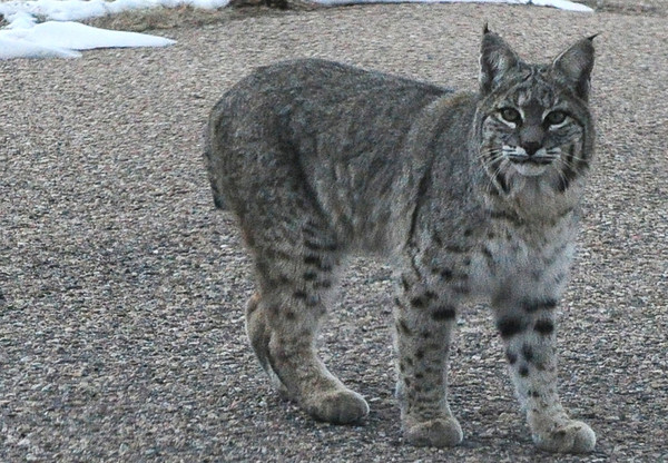 Walt Hester   Trail Gazette<br /> A bobcat wanders, seemingly worry free, through a Carriage Hills yard on Sunday. Like their larger cousins, the mountain lion, bobcats are hard to track as they are very illusive.