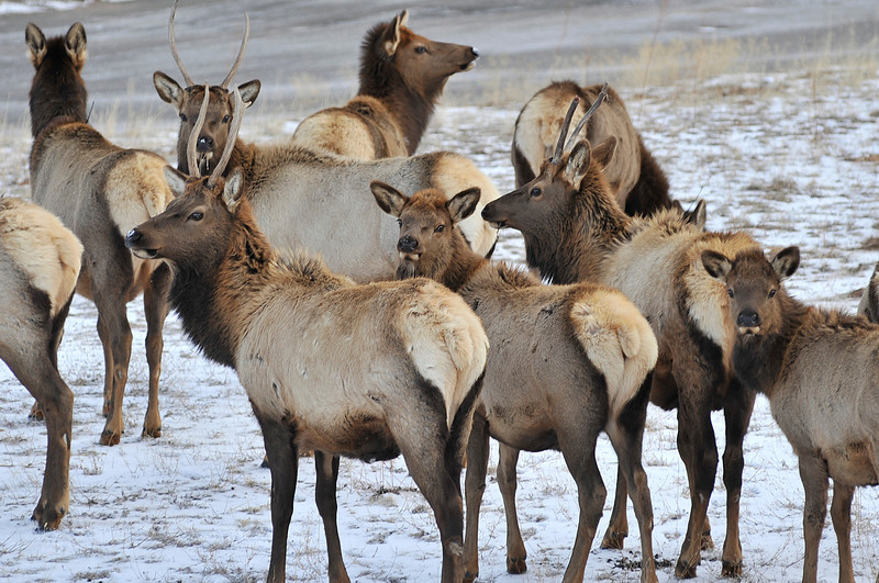Walt Hester | Trail Gazette<br /> A small herd of elk wander through a snowy yard in Carriage Hills on Wednesday. More snow is in the forecast for Friday.