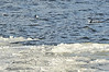 Walt Hester | Trail Gazette<br /> Ducks bob and dive in the water on Lake Estes close to the edge of ever-changing ice on Monday. Water levels in Lake Estes are ever-changing, keeping the main part of the lake from freezing completely.