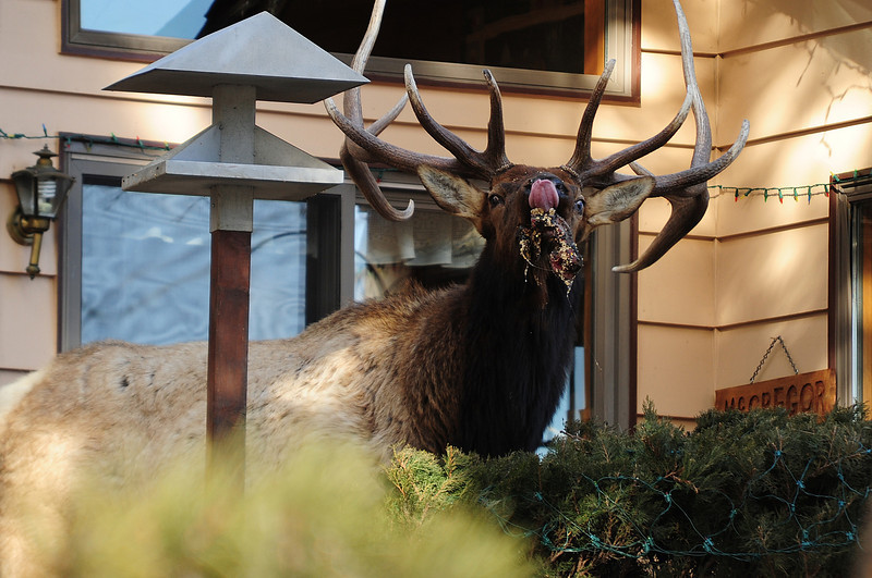 Walt Hester   Trail Gazette<br /> A bull elk raids bird feeders at McGregor Mountain Lodge on Wednesday. While bears hide away for the winter, elk still prowel for easy eats.