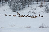 A herd of elk is bedded down in the snow-covered open space located north of Carriage Drive in Estes Park.