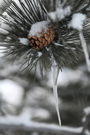 Walt Hester   Trail Gazette<br /> Ice and snow cling to needles and cones long Carriage Drive on Tuesday. Two additional inches of snow fell Monday night on the previous 12 left by last week's storm.