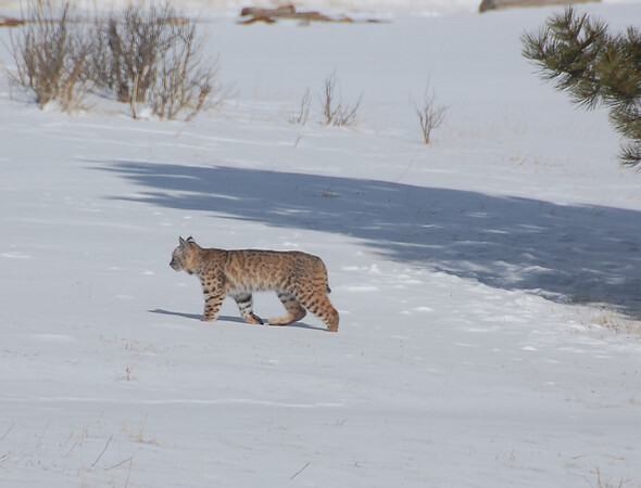 A bobcat moves across open space following a spring snowstorm.