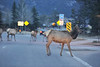 Walt Hester | Trail Gazette<br /> Elk mildly disrupt evening traffic along St. Vrain Avenue on Wednesday evening. With so many large creatures in town, slow and cautious is the way to drive at dusk.