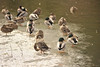 Walt Hester | Trail Gazette<br /> Ducks preen and snooze on the last bit of ice on a pond near the Big Thompson River on Wednesday.