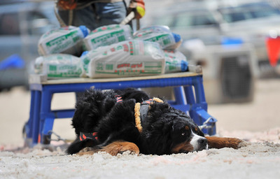 Walt Hester | Trail Gazette Charlie lies down after failing to pull 700 pounds on the stick, wet snow on Saturday. Dogs won't injure themselves competing, quiting rather than hurting.
