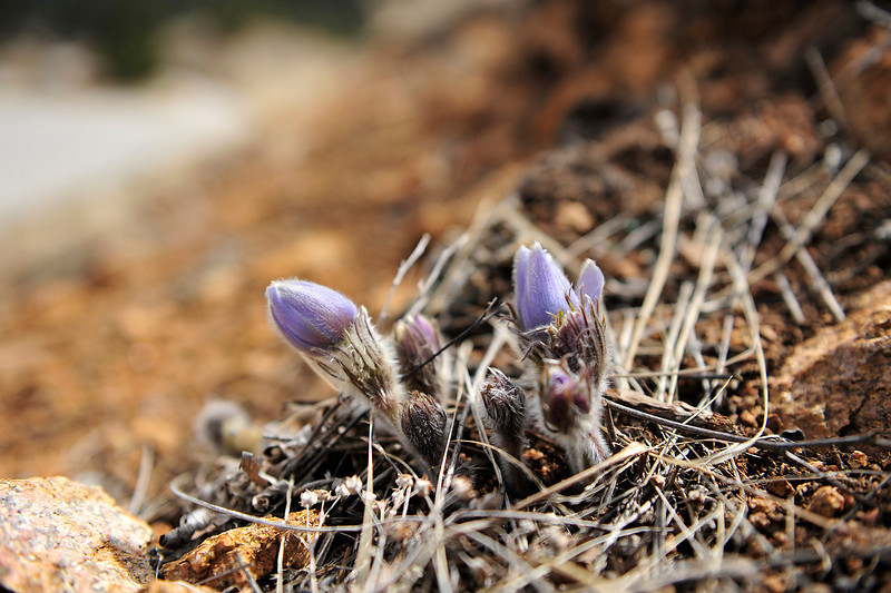 Walt Hester | Trail Gazette<br /> Spring's first blooms erupt through the dirt and pine needles above the paved trail through Carriage Hills on Saturday.