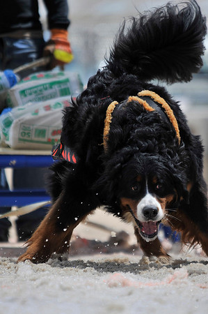 Walt Hester | Trail Gazette<br /> Charlie, a Bernese mountain dog from Eureeka, Calif., enthusiasticaly drags the weighted sled. The competitive pulling dogs seem to truely enjoy pulling the sleds, and owners almost always make sure the job gets done, even if they have to help their dogs.