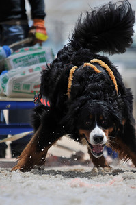 Walt Hester | Trail Gazette Charlie, a Bernese mountain dog from Eureeka, Calif., enthusiasticaly drags the weighted sled. The competitive pulling dogs seem to truely enjoy pulling the sleds, and owners almost always make sure the job gets done, even if they have to help their dogs.
