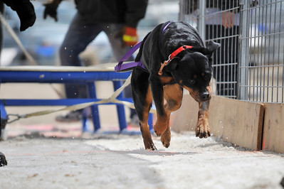 Walt Hester | Trail Gazette A dog makes short work of the opening weight. The dogs usually open the competition by simply pullin the 100-pound sled.