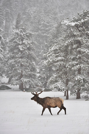 Walt Hester | Trail Gazette<br /> A bull elkwanders through Horseshoe Park and four inches of wet, heavy snow on Wednesday. The national park was a few degrees cooler than Estes Park, leading to a little mor accumulation.