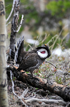 Walt Hester | Trail Gazette<br /> A male blue grouse shows off for a possible mate along the Glacier Gorge Trail on Tuesday. The blue grouse are relatives of the park's other big showoffs, the wild turkeys.