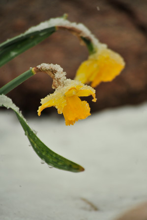 Walt Hester | Trail Gazette<br /> Once again, snow clings to flowers along Elkhorn Avenue on Thursday. Temperatures may begim resembling spring as the week progresses in Estes Park.