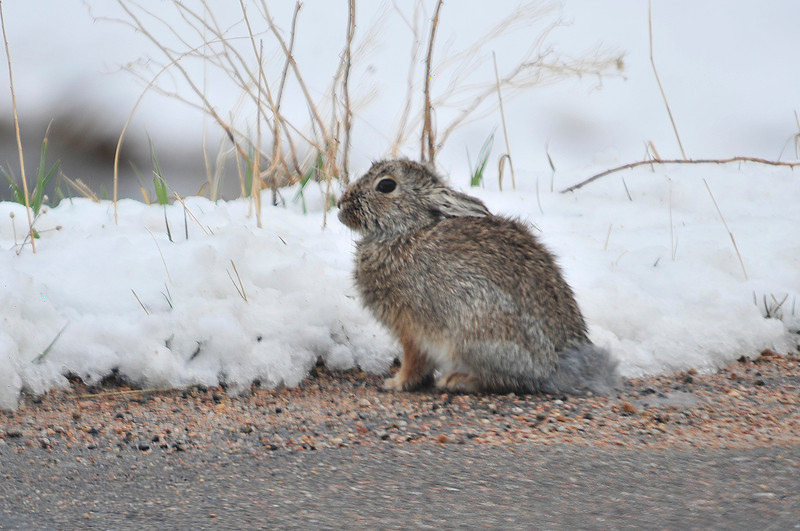 Walt Hester | Trail Gazette<br /> A rabbit crouches along Carriage Drive on Thursday.