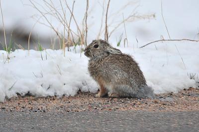 Walt Hester | Trail Gazette A rabbit crouches along Carriage Drive on Thursday.