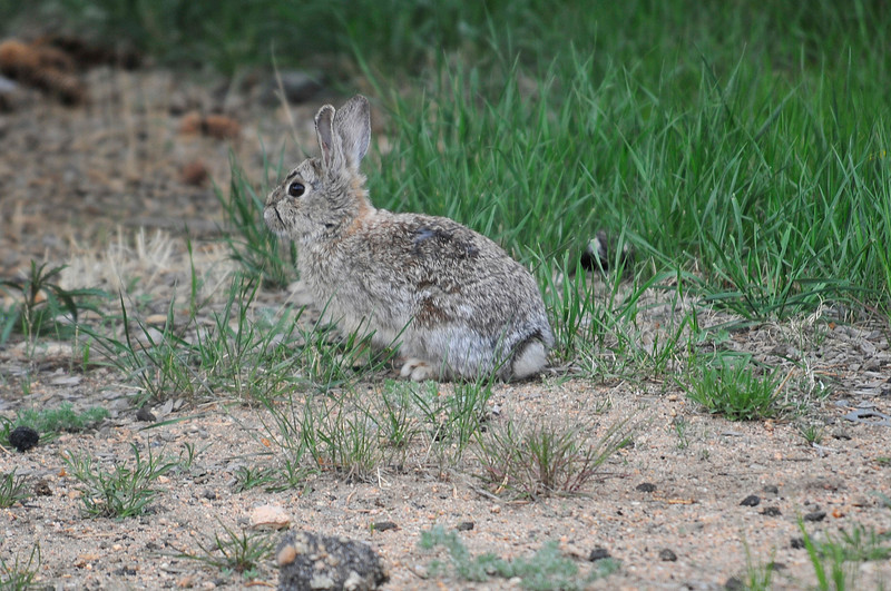 Walt Hester | Trail Gazette<br /> A rabbit sits still along Virginia Drive on Wednesday. The rabbit tries to blend in as most preditors won't see it until it moves.