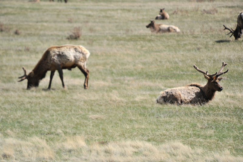 Walt Hester   Trail Gazette<br /> A herd of bull elk lounge and graze in Horseshoe Park on Sunday. The bulls are busy growing new racks that they will use to fight and impress cows in the coming autumn.