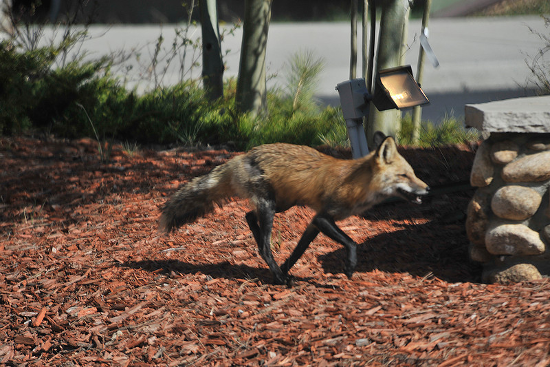Walt Hester   Trail Gazette<br /> A fox bonds about along Fish Hatchery Road on Sunday. The little predators are shy, but can be seen around the edges of the day around Estes Park.