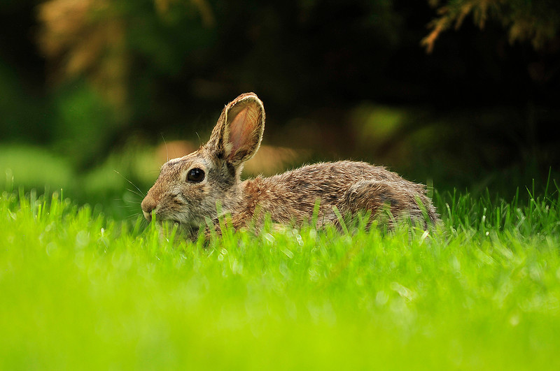 Walt Hester | Trail Gazette<br /> A rabbit peeks over its grazing in the lawn of Our Lady of the Mountains Catholic Church on Wednesday.