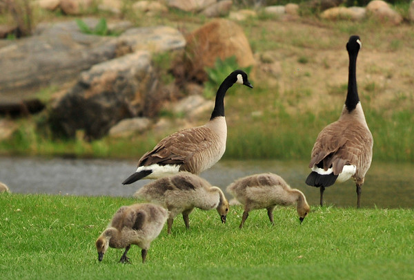 Walt Hester | Trail Gazette<br /> Goslings feed as geese keep an eye out for predators and golfers at the Lake Estes 9-Hole Golf Course on Wednesday.
